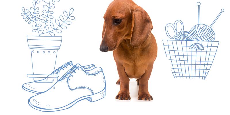 parasitos de perros en zapatos