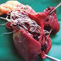 Corazón Dirofilariosis