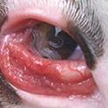 Ojo thelaziosis