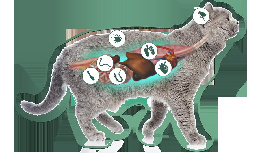 parasitos en gatos